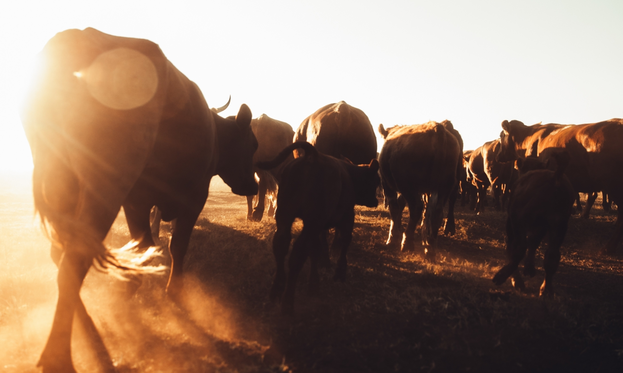 Cattle blowing up dust on rural farmland in sunset stock photo